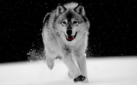 Play in The Snow  for  {Daxe09} - dogs, animals, photography, other, black and white, wolf