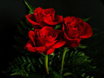 Red Roses For Carol (Applejackqueen)