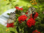 Beautiful butterflys
