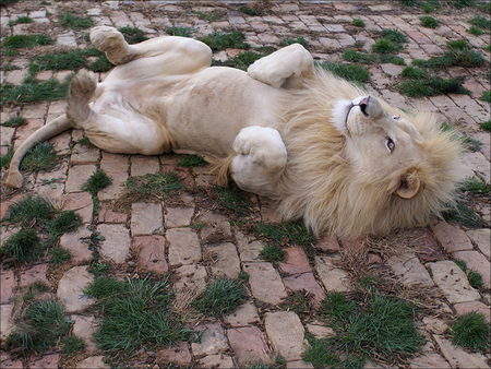 Lion having a roll. - beautiful, lion, cat, play, king