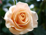 A beautiful rose for Cherie (Monarch)