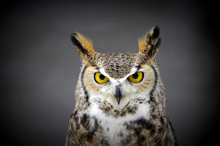 Pretty Owl - owl, eyes, beautiful, white, cute, brown, yellow, gray