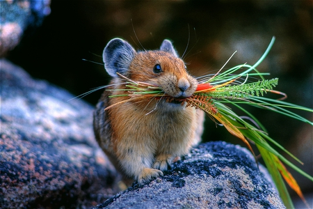 The Harvester - carrying, cute, hungry, sweet, mouse