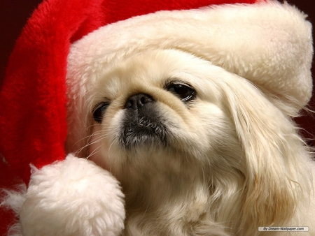 DOG IN SANTA HAT - dog, hat, canine, santa, holiday
