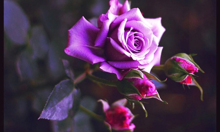 violet rose flowers amp nature background wallpapers on