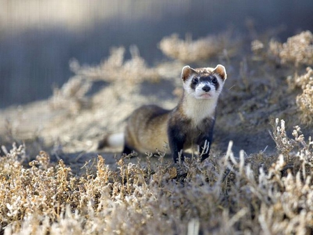 Black-Footed-Ferret - ferret, cool, black-footed, picture