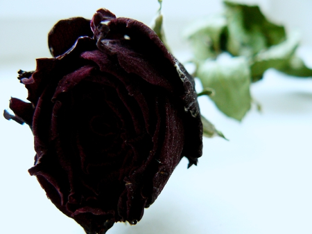 Rose (My photography) - rose, flower, photography, roses, photo