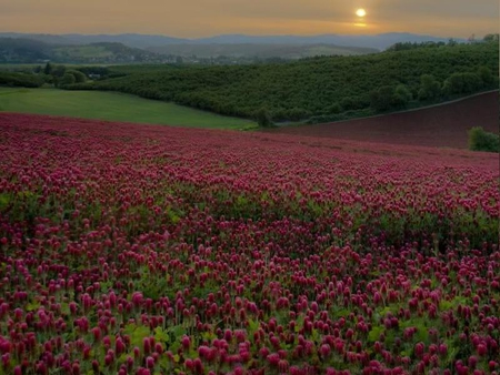 Red Clover Field - red, sky, field, clover