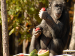 CHIMPANZEE, EATING SOME FRUIT