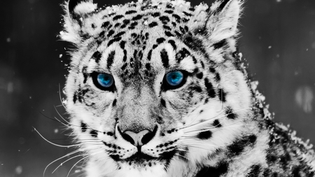 Snow Leopard - blue eyes, leopard, snow leopard, cats