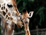 Giraffe and her Calf