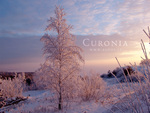 Pink frost winter beauty in Curonia