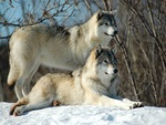 Two Beautiful Wolves in Snow For my Dear Angel friend Glyn ( universelover )