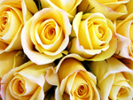 Roses for Anne(YellowForever)