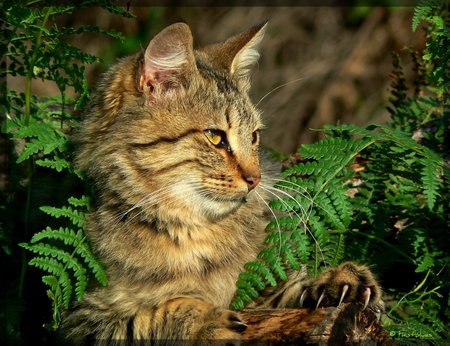 Observant - maine coon, animals, outdoors, cats, ferns, watching