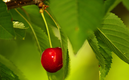 cherry - fruits, nature, cheery, plants