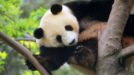 Giant Panda - animals, giant panda, trees, beautiful, nature, panda, bears