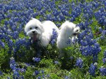 Hiding in the Bluebonnets