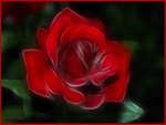 A gorgeous lovely red rose