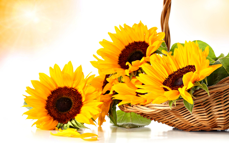 Sunflowers - petals, still life, photography, romantic, nature, for you, sunflower, lovely, yellow, sunflowers, with love, beauty, basket, beautiful, flowers, pretty, romance