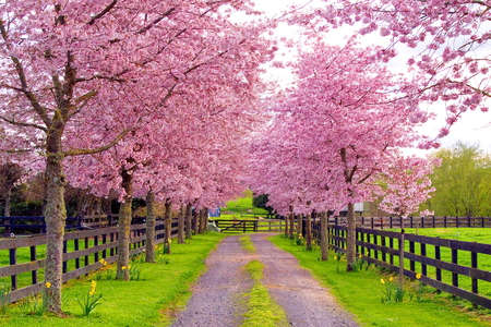 Spring lane - trees, blooms, fence, pink, lane, country