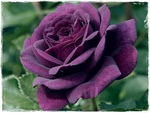 ♥ Purple Rose ♥   For Dreamer-girl