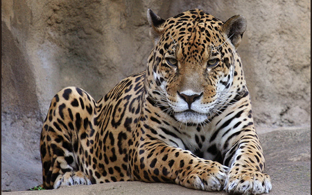 Leopard - ears, leopard, tail, spots, design, paws, rock, animal