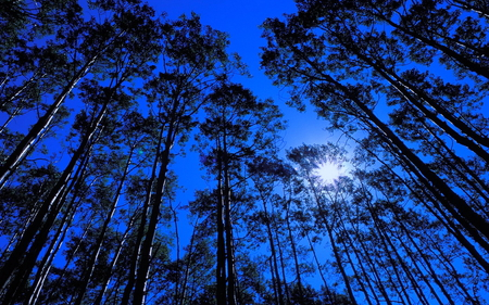 Forest at night - hight trees, brillant moon, shadows, forest, blue sky