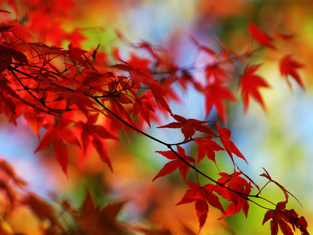 Autumn Leaves - leaves, red, fall, autumn