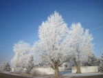 Frosty trees with a blue sky