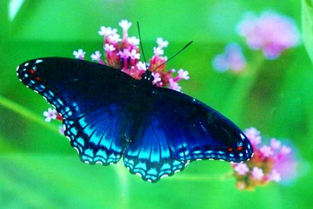 black and blue butterflies amp animals background