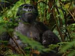 """Mountain gorillas....Africa"""