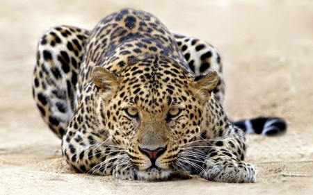 Leopard - cool, animals, cats, animal, large, leopard, spots, wild, cat, jaguar, leopards