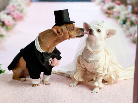 Dog wedding - dog, gentleman, lady, bride, animal, wedding