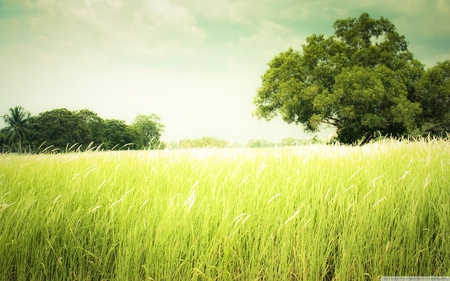 summer field - green, summer, field, cloud, tree, hot, grass, wind, peaceful