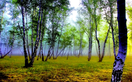 FOGGY FOREST - birch, most, fog, forest, grove