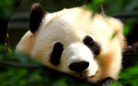 panda face - bear, photography, black, soft, white, cute, panda, animal