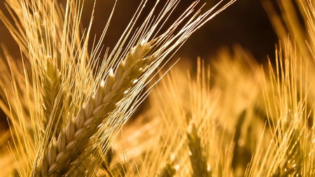 ancient grains can feed the hungry