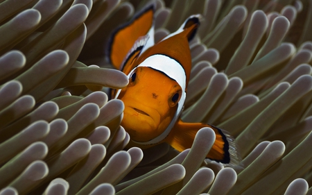 clownfish in reef - brown, white, reef, clownfish