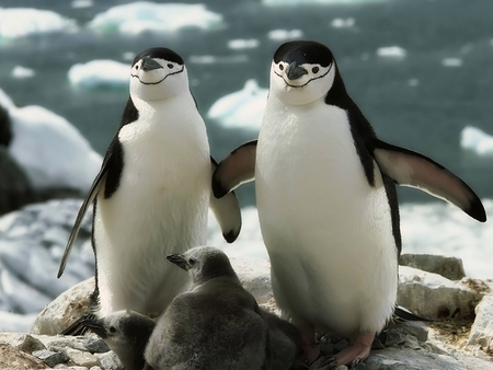 Penguin_Family - family, penguin, picture, cute