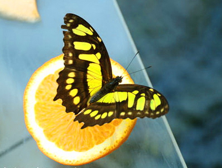 Citrus snack - fruit, butterfly, orange, black, yellow