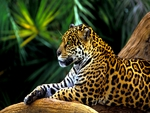 AMAZON JAGUAR