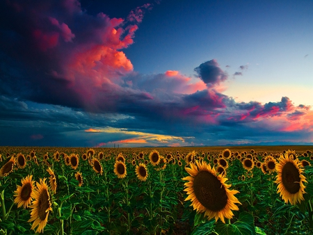 Skies of summer sunset - flowers, evening, summer, meadow, beautiful, field, sky, lovely, dark, nice, clouds, sundown, sunset, sunflowers, nature, dusk