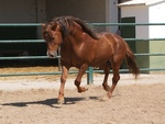 Chesnut Andalusian