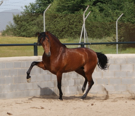 bay andalusian horses amp animals background wallpapers on
