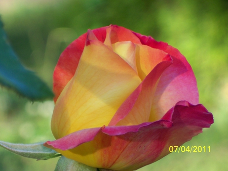 DELICATE ROSE BUD - rose, summer, soft, brillient